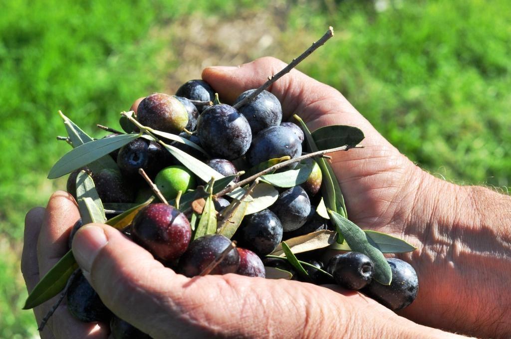 Calypso   Single Varietal Extra Virgin Olive Oil